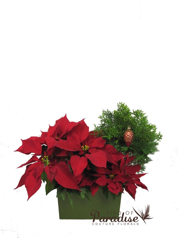Poinsettia Mix